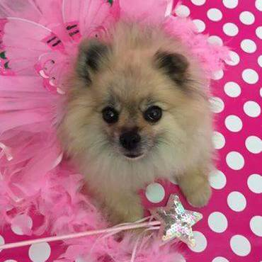 Small Dog in Tutu Costume